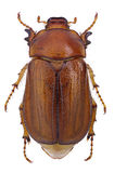 June beetle (Amphimallon vernale) Stock Images