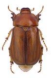 June beetle (Amphimallon vernale) Stock Images