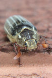 June Beetle. Close up of June Beetle on brick Royalty Free Stock Photos
