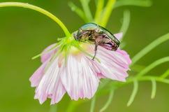 June Beetle. Macro Close Up Photo Stock Photography