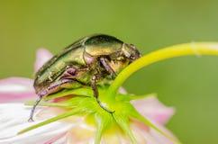 June Beetle. Macro Close Up Photo Stock Photo