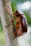 June Bug. Also known as the May Beetle Stock Photos