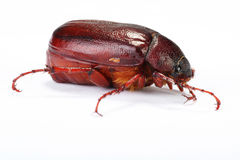June bug Stock Photo
