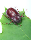 June bug. On green leaf with white background Stock Images