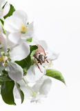 June Bug on apple flower Royalty Free Stock Photo