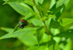 June bug beetle on pointy green leaf. June bug ( ash tree borer) beetle on pointy green leaf, close-up royalty free stock photo