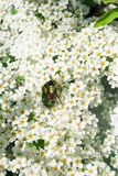 June bug in flowers Stock Image