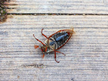 June bug Royalty Free Stock Photography