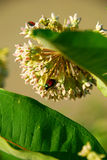 June bug on milkweed. June bug glows on milkweed flower royalty free stock photos