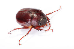 June bug on white Royalty Free Stock Photos