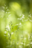 June green grass flowering. Summer flowering grass and green plants in June sunshine with copy space stock photography