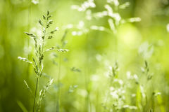 June green grass flowering Royalty Free Stock Photography