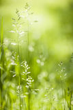 June green grass flowering. Summer flowering grass and green plants in June sunshine with copy space stock photo