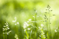 June green grass flowering. Summer flowering grass and green plants in June sunshine with copy space royalty free stock image