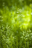 June green grass flowering Royalty Free Stock Images