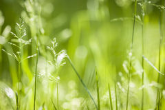 June green grass flowering. Summer flowering grass and green plants in June sunshine with copy space royalty free stock photo