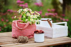 June or july garden scene with fresh picked organic wild strawberry and chamomile flowers on wooden table outdoor. Summertime still life, healthy country Stock Photos