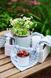 June or july garden scene with fresh picked organic wild strawberry and chamomile flowers on wooden table outdoor. Summertime still life, healthy country Royalty Free Stock Photos