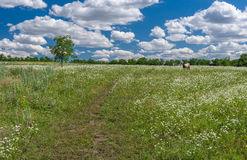 June landscape with wild camomile field and lonely cow. Central Ukraine Stock Images