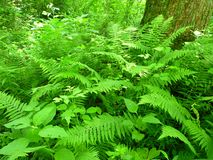 June Lush Ferns Royalty Free Stock Photos