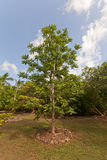 June plum tree in QE II Botanic Park on Grand Cayman Island Royalty Free Stock Image