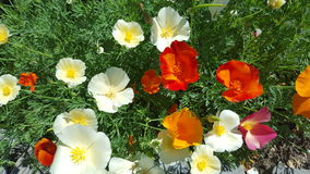 June Poppies Royalty Free Stock Photo