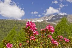 Alpine roses bloom in the mountains. In June, a red sea of flowers of alpine roses covers the mountain slopes of many Alpine peaks stock photos