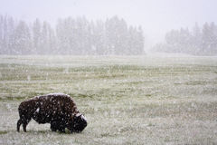 June Snowstorm and Bison, Yellowstone Royalty Free Stock Photos