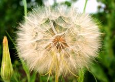 June. Some wildflowers are covered with seeds with lightweight fuzz-parachutes. They are waiting for the whiff of wind wind to take up new territory Stock Photography
