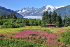 Juneau,capital of Alaska. Juneau ice field and fireweed in summer time on Alaska royalty free stock images