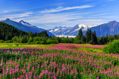 Juneau, Alaska. Mendenhall Glacier Viewpoint with Fireweed in bloom. Juneau, Alaska stock photos