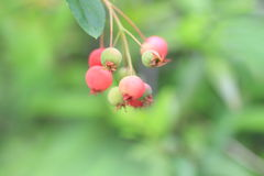 Juneberry. (Amelanchier canadensis) in Japan Royalty Free Stock Image