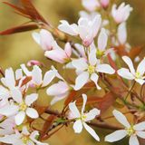 Juneberry flower Stock Image