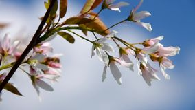 Juneberry Pralina. White juneberry flowers in spring stock video footage