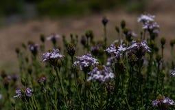 Junelliabloemen, wild in het Patagonian platteland stock afbeeldingen