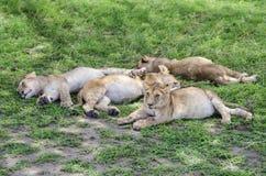 Jungów lwów spać Obrazy Royalty Free
