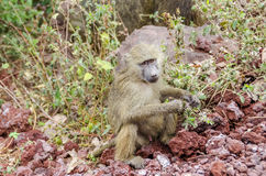 Jung baboon Stock Images