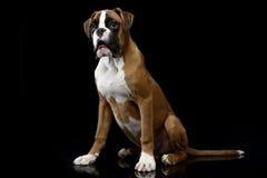 Jung Boxer che si siede sul pavimento brillante in studio scuro fotografia stock