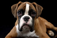 Jung Boxer lying on the floor in the dark studio. Jung Boxer lying on the floor in dark studio Stock Photography