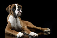 Jung Boxer lying on the shiny floor in a dark studio. Jung Boxer lying on the shiny floor in dark studio Royalty Free Stock Photo
