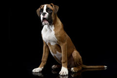 Jung Boxer sitting on the shiny floor in dark studio. Jung Boxer sitting on shiny floor in dark studio Stock Photography