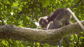 Jung Dusky Leaf Monkey, Langur in Forest Playing with an Other, Railay, Krabi, Thailand stock video