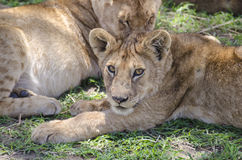 Jung lion. Lying on the grass in Serengeti, Tansania Stock Image