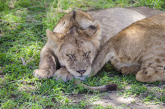 Jung lions sleeping Royalty Free Stock Photos