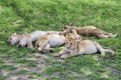 Jung lions sleeping Royalty Free Stock Images