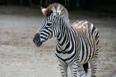 Jung listrou a zebra no jardim zoológico fotos de stock