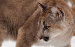 Jung Mountain Lion Photo libre de droits