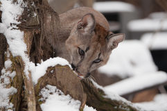 Jung Mountain Lion stock foto