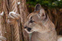 Jung Mountain Lion Photos stock
