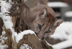 Jung Mountain Lion Photos libres de droits